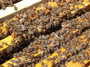 bees-486870_1280