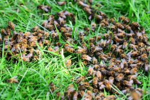 honey-bees-413018_1920