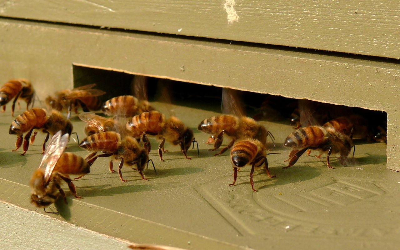 honeybees-610718_1280